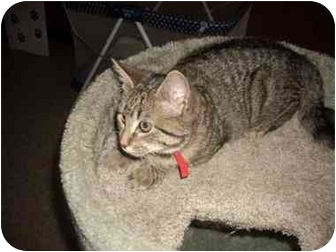 Domestic Shorthair Kitten for adoption in Macclenny, Florida - ADOPT ME!
