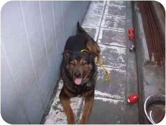 German Shepherd Dog/Labrador Retriever Mix Dog for adoption in Los Angeles, California - Angel Ann