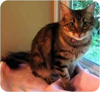 Maine Coon Cat for adoption in Overland Park, Kansas - Daphne