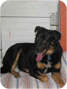 Shepherd (Unknown Type)/Rottweiler Mix Dog for adoption in Elliot Lake, Ontario - Emmett