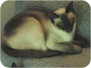Siamese Cat for adoption in Somerset, Kentucky - Jeff