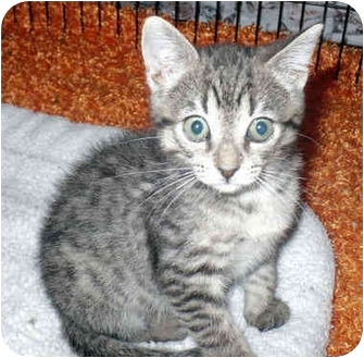 Domestic Shorthair Kitten for adoption in Colmar, Pennsylvania - Mimmi