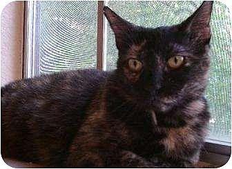 Domestic Shorthair Cat for adoption in Austin, Texas - Gabby