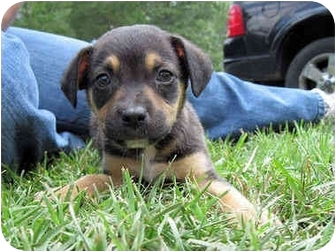 American Bulldog/Rottweiler Mix Puppy for adoption in Mahwah, New Jersey - Jesse