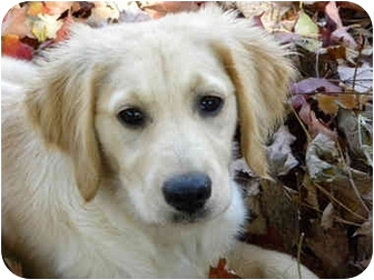 Golden Retriever/Labrador Retriever Mix Puppy for adoption in Nanuet, New York - Julep