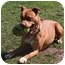 Photo 3 - American Pit Bull Terrier Mix Dog for adoption in Islip, New York - Amber