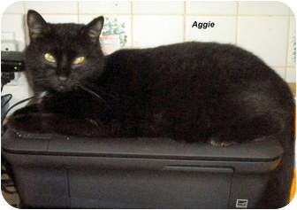 Domestic Shorthair Cat for adoption in Jacksonville, Florida - Aggie