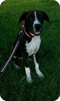 Boxer/Labrador Retriever Mix Dog for adoption in Orland Park, Illinois - Giddeon