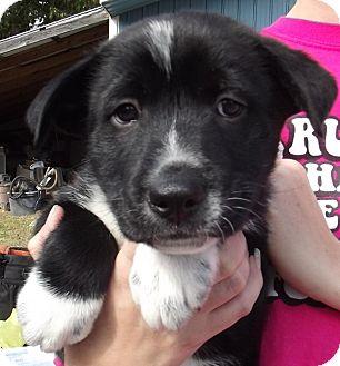 Labrador Retriever/Border Collie Mix Puppy for adoption in Allentown, Pennsylvania - Van Halen
