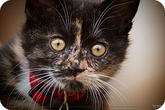 Domestic Shorthair Kitten for adoption in Irvine, California - TEVA