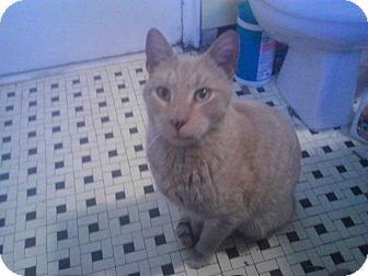 Domestic Shorthair Cat for adoption in Brooklyn, New York - Clancy