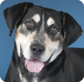 Hound (Unknown Type) Mix Dog for adoption in Chicago, Illinois - Elder