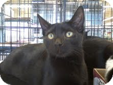 Domestic Shorthair Cat for adoption in East Brunswick, New Jersey - Onyx