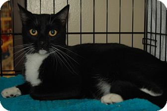 Domestic Shorthair Cat for adoption in Houston, Texas - Jasper
