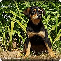 Adopt A Pet :: Arya - Southington, CT