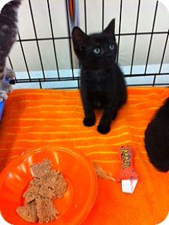 Domestic Shorthair Kitten for adoption in Horsham, Pennsylvania - Hailey