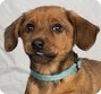 Dachshund Mix Puppy for adoption in Minneapolis, Minnesota - Cole