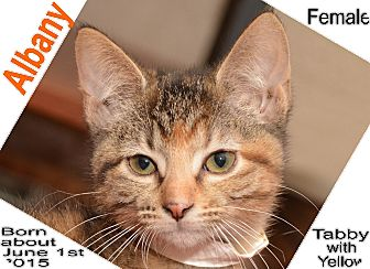 Domestic Shorthair Cat for adoption in Richmond, Missouri - Albany