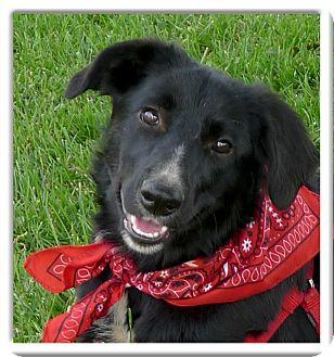 Labrador Retriever/Border Collie Mix Puppy for adoption in Sacramento, California - Bella PENDING