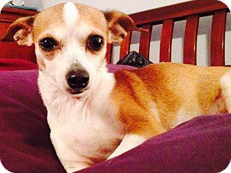 Chihuahua Mix Dog for adoption in Wichita Falls, Texas - Gracie (chi)