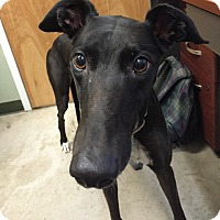Adopt A Pet :: Sage - Swanzey, NH