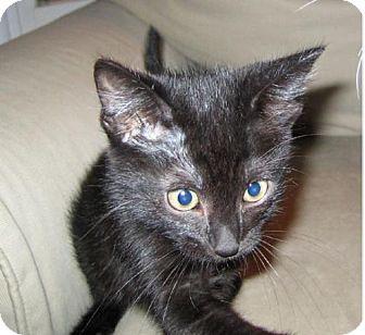 Domestic Shorthair Kitten for adoption in Walnut Creek, California - Spiderman