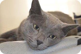 Russian Blue Cat for adoption in Buena Vista, Colorado - Franklin
