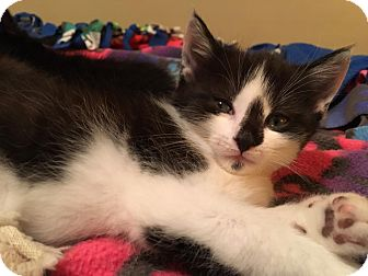 Domestic Mediumhair Kitten for adoption in Troy, Michigan - Batman