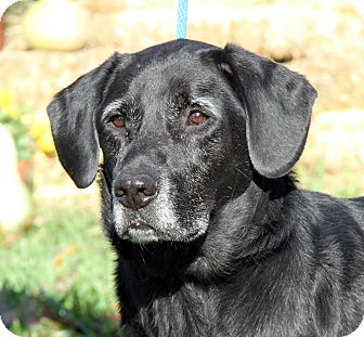 Labrador Retriever Mix Dog for adoption in Marietta, Ohio - Ranger (Neutered)
