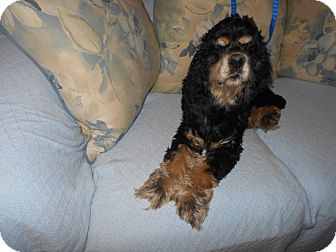 Cocker Spaniel Dog for adoption in Kannapolis, North Carolina - Blazer -Adopted!