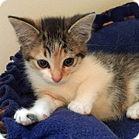 Adopt A Pet :: Gamora - Troy, MI