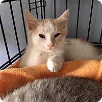 Adopt A Pet :: Agustus - Island Park, NY