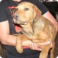 Adopt A Pet :: MIXED LAB PUPS B - Corona, CA