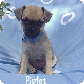 Pug Mix Puppy for adoption in Rancho Santa Fe, California - piglet