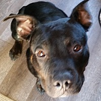American Pit Bull Terrier Mix Puppy for adoption in La Quinta, California - *Batlee