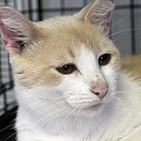 Adopt A Pet :: Creamsicle - Winston-Salem, NC