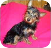 Yorkie, Yorkshire Terrier Mix Dog for adoption in Portland, Maine - Bella