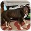 Photo 2 - English Shepherd/Labrador Retriever Mix Dog for adoption in Worcester, Massachusetts - Bear