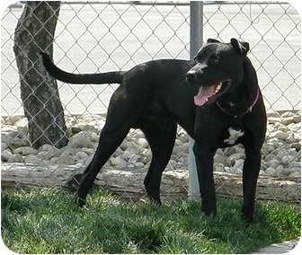 Labrador Retriever/American Pit Bull Terrier Mix Dog for adoption in Meridian, Idaho - Jonah