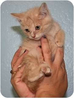 American Shorthair Kitten for adoption in Pompano Beach, Florida - Jerry