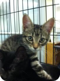Domestic Shorthair Kitten for adoption in Columbus, Georgia - Rachel 2604