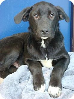 Labrador Retriever/Border Collie Mix Puppy for adoption in Red Bluff, California - Beau