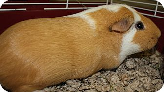 Guinea Pig for adoption in West Des Moines, Iowa - Lily