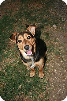 Corgi Mix Dog for adoption in San Antonio, Texas - Carlton