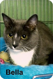 Domestic Shorthair Cat for adoption in Medway, Massachusetts - Bella