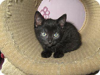 Domestic Shorthair Kitten for adoption in Elliot Lake, Ontario - Turbo