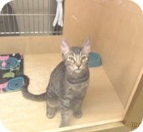 Domestic Shorthair Kitten for adoption in Phoenix, Arizona - Fletcher