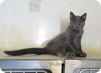 Domestic Shorthair Cat for adoption in Geneseo, Illinois - Shady