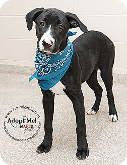Labrador Retriever/Pit Bull Terrier Mix Dog for adoption in Troy, Ohio - Addie