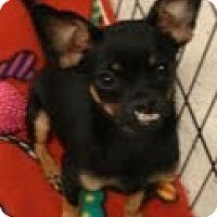 Adopt A Pet :: Fiona - OMG CUTE! - Phoenix, AZ